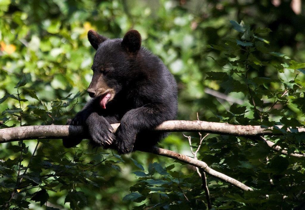 Home Appalachian Bear Rescue